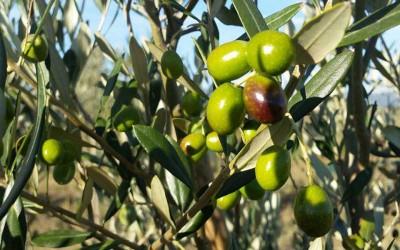 Olio Terre Rosse – La campagna olearia 2015