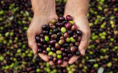 Quando iniziare a raccogliere le olive